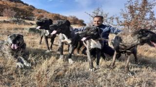 Tomarzanın Çapar Köpekleri büyük ilgi görüyor