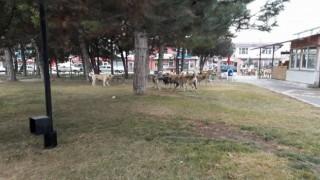 Tomarzada sokak köpekleri vatandaşları korkutuyor